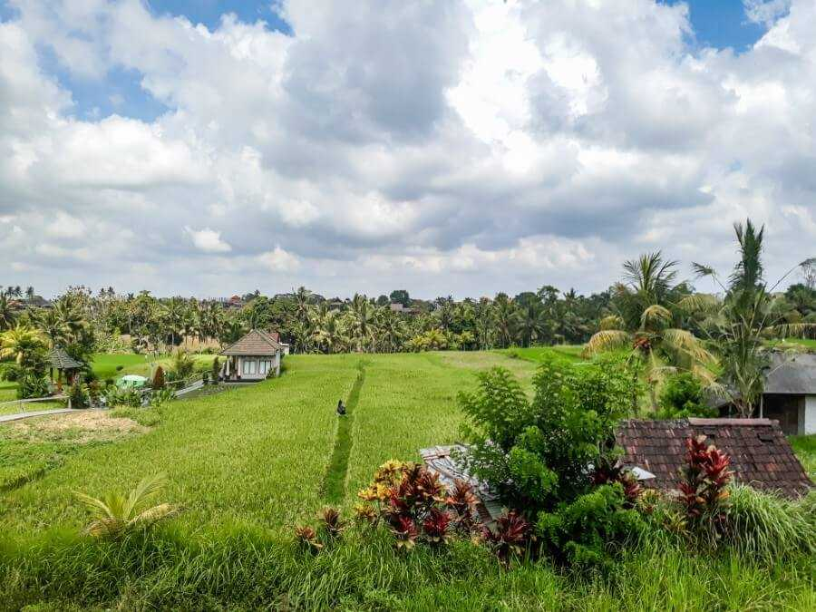 Rice fields at Sari Organik Ubud