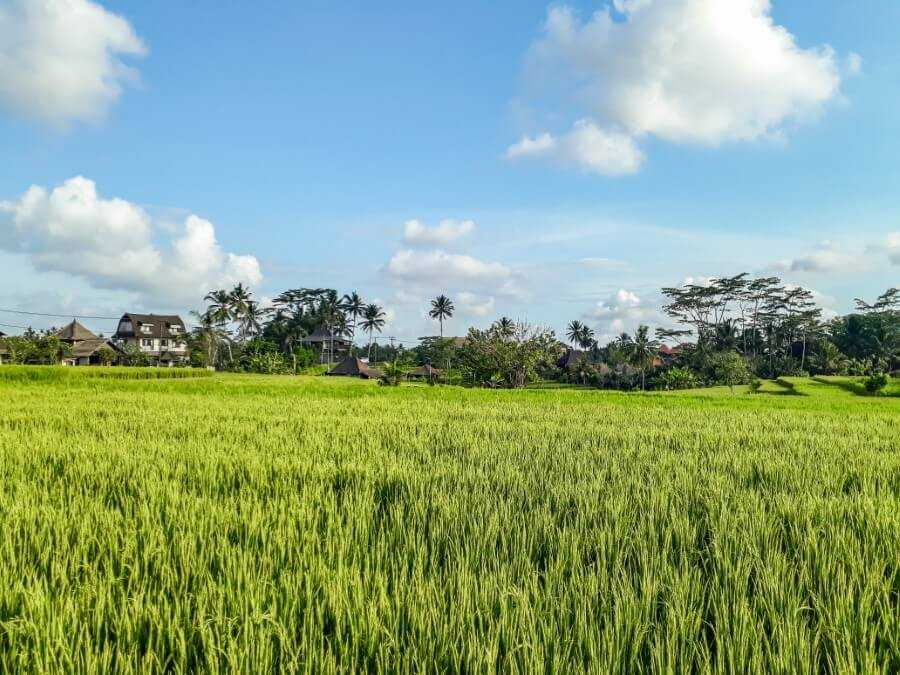 rice paddies in bali - Campuhan Ridge Walk