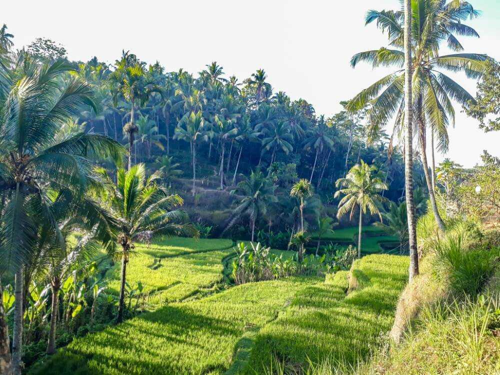 Palm trees and rice fields at Tegalalang - 3-day Ubud Itinerary