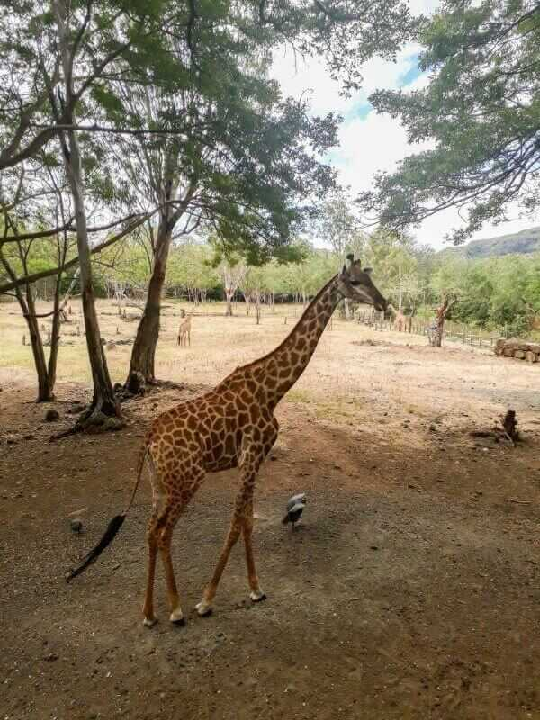 Giraffe at Casela World of Adventure Mauritius