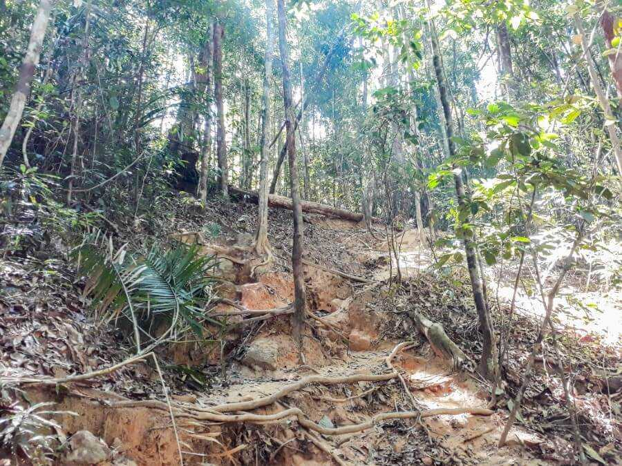 Tree Roots and forest along the hiking trail in Krabi