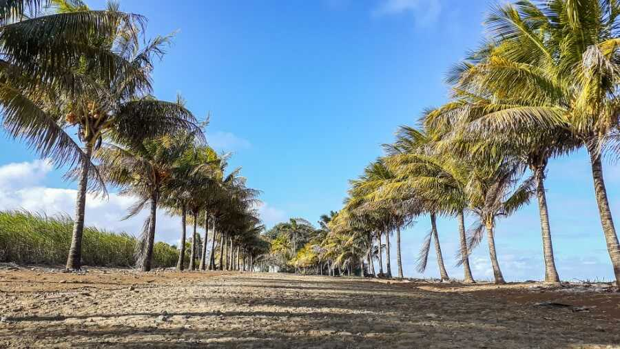 Rows of coconut trees along the hiking trail