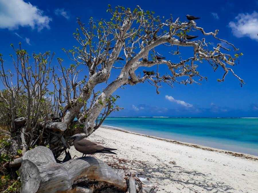 Lesser Noddy bird perched on a branch on Ile aux Cocos Rodrigues
