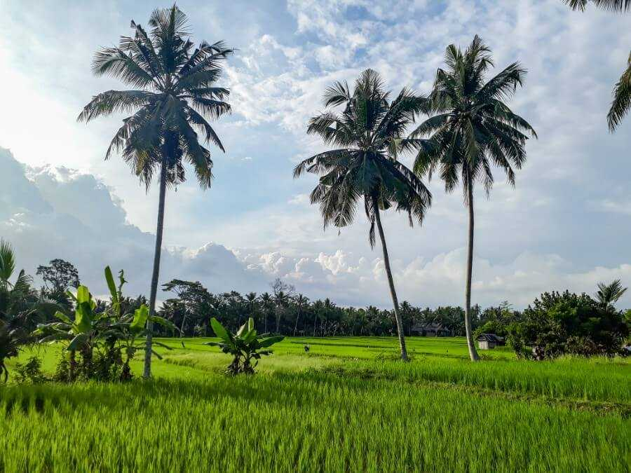 tall coconut trees and rice fields in Ubud, Bali