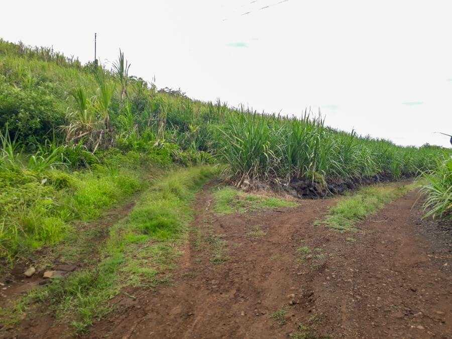 2 paths leading to a sugarcane field